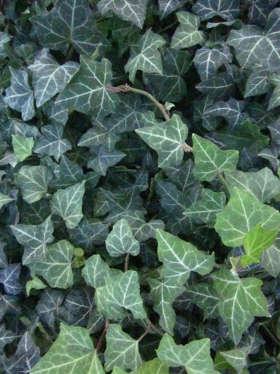 Hedera helix Baltica English Ivy