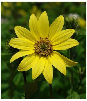 Helianthus Lemon Queen Perennial Sunflower image credit Nothcreek Nurseries
