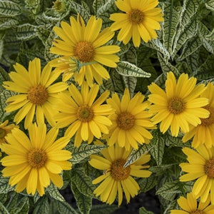 Heliopsis helianthoides Sunstruck False Sunflower image credit Walters Gardens Inc.