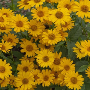 Heliopsis helianthoides Tuscan Sun PW False Sunflower image credit Walters Gardens Inc.