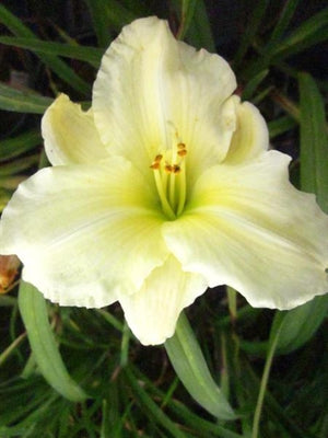 Hemerocallis hybrid Cool It Daylily image credit Millgrove Perennials