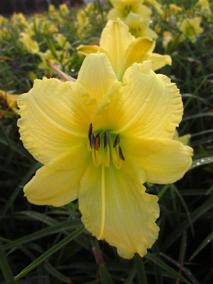 Hemerocallis hybrid Happy Returns Daylily image credit Millgrove Perennials