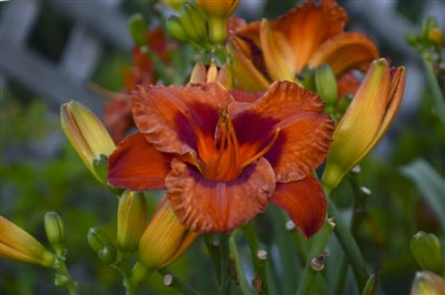 Hemerocallis hybrid Mighty Chestnut Daylily