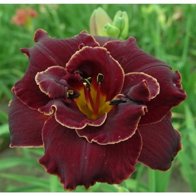 Hemerocallis hybrid Night Embers Daylily