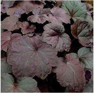 Heuchera hybrid Palace Purple Coral Bells image credit Northcreek Nurseries