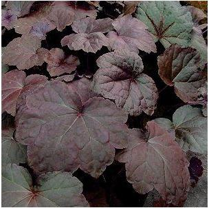 Heuchera hybrid Palace Purple Coral Bells