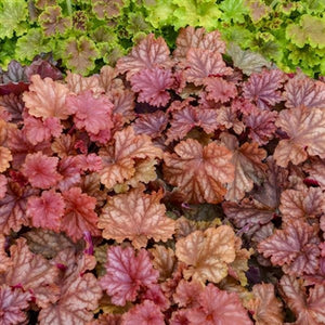 Heuchera hybrid Peachberry Ice PW Coral Bells image credit Walters Gardens Inc.