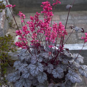 Heuchera hybrid Timeless Treasure Coral Bells image credit Walters Gardens Inc.