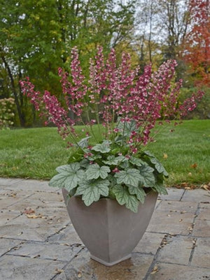 Heuchera hybrid Berry Timeless Coral Bells image credit Walters Gardens Inc