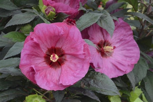 Hibiscus hybrid Berry Awesome PW Rose Mallow image credit Walters Gardens Inc.
