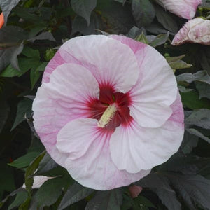 Hibiscus hybrid Perfect Strom PW Rose Mallow image credit Walters Gardens