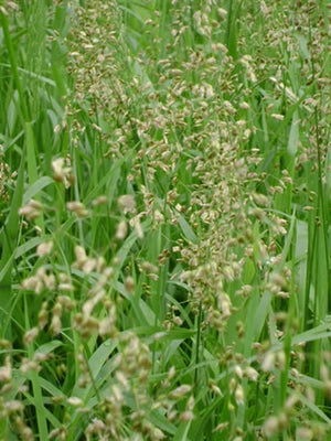 Hierochloe odorata Sweet Grass image credit Prairie Moon Nurseries
