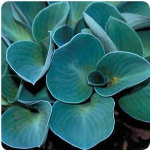 Hosta hybrid Blue Mouse Ears Plantain Lily