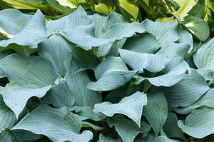 Hosta hybrid Blue Wedgewood Plantain Lily image credit Millgrove Perennials