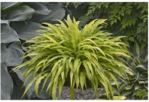 Hosta hybrid Curly Fries Plantain Lily image credit Walters Gardens Inc