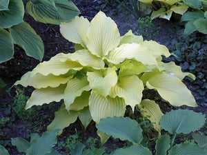 Hosta hybrid Dancing Queen Plantain Lily image credit Photo credit: Walters Gardens Inc.