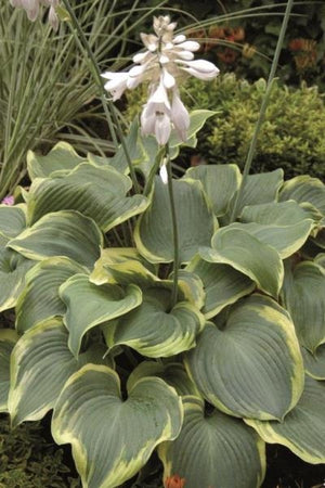 Hosta hybrid Earth Angel Plantain Lily image credit VanHof & Blokker