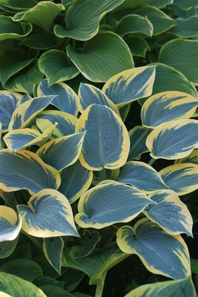 Hosta hybrid First Frost Plantain Lily