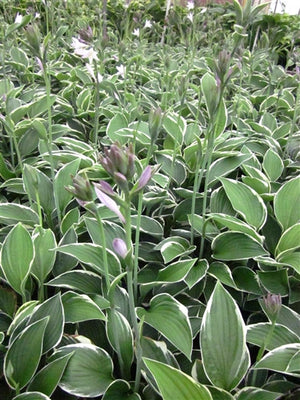 Hosta hybrid Francee Plantain Lily image credit Millgrove Perennials