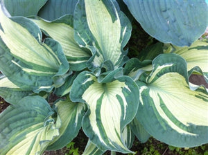 Hosta hybrid Guardian Angel Plantain Lily image credit Millgrove Perennials