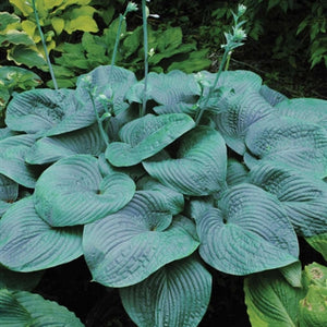 Hosta hybrid Humpback Whale Plantain Lily image credit Walters Garden