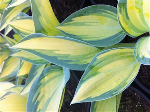 Hosta hybrid June Plantain Lily image credit Millgrove Perennials