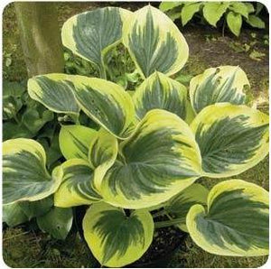 Hosta hybrid Liberty Plantain Lily image credit Ball Horticultural Company