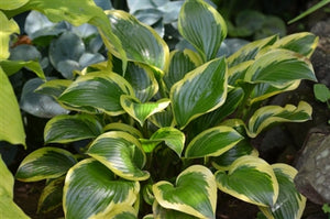 Hosta hybrid Queen Josephine Plantain Lily image credit Balamore
