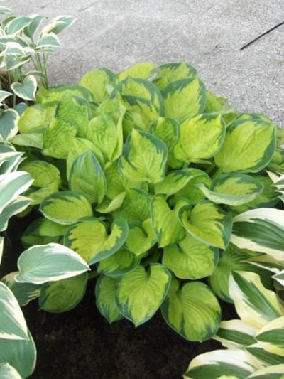Hosta hybrid Rainforest Sunrise Plantain Lily