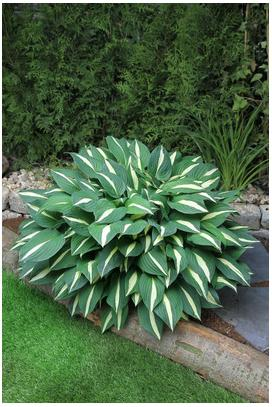 Hosta hybrid Risky Business Plantain Lily image credit Darwin Perennials