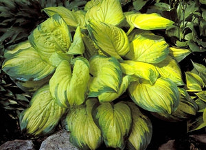 Hosta hybrid Stained Glass Plantain Lily image credit Photo credit: Walters Gardens Inc.