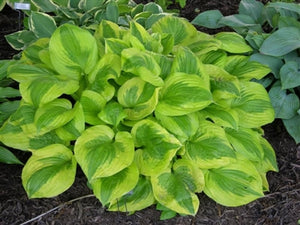 Hosta hybrid Summer Breeze Plantain Lily image credit Millgrove Perennials