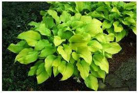 Hosta hybrid Sun Power Plantain Lily image credit Millgrove Perennials