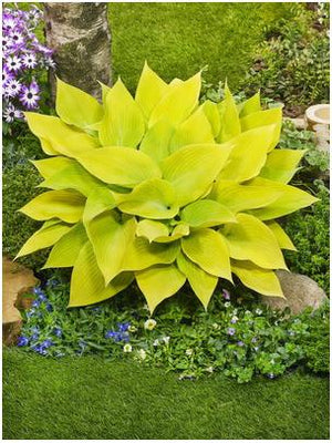 Hosta hybrid Sunny Halcyon Plantain Lily image credit Darwin Perennials