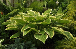 Hosta hybrid Victory Plantain Lily image credit Millgrove Perennials