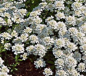 Iberis sempervirens Snowflake Candytuft image credit Millgrove Perennials