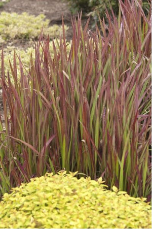 Imperata cylindrica Red Baron Japanese Blood Grass image credit Walters Gardens Inc