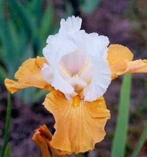Iris- Bearded germanica Pumpkin Cheesecake Bearded Iris image credit Millgrove Perennials