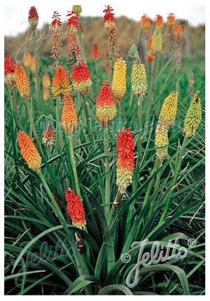Kniphofia hybrid Royal Castle (Grandiflora Mix) Red Hot Poker image credit Jelitto