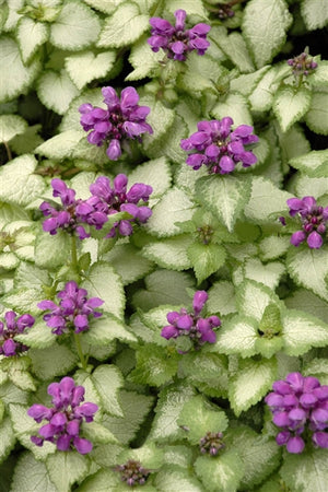 Lamium maculatum Purple Dragon Dead Nettle image credit Photo credit: Walters Gardens Inc.