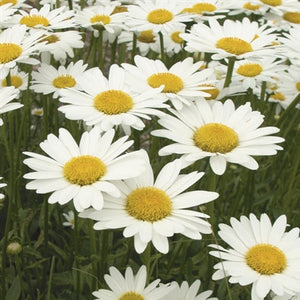 Leucanthemum superbum Bright Side Shasta Daisy image credit Millgrove Perennials