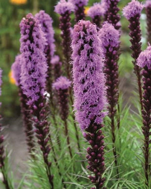 Liatris spicata Blazing Star image credit Vanhof and Blokker
