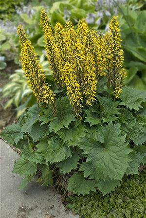 Ligularia hybrid Bottle Rocket PW Bigleaf Ligularia image credit Photo credit: Walters Gardens Inc.