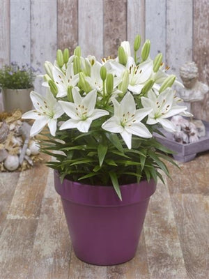 Lilium -Asciatic asiatic Fantasciatic White Asciatic Lily image credit Ball Horticultural Company