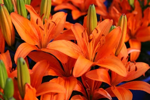 Lilium asiatic Orange Matrix Lily image credit Millgrove Perennials