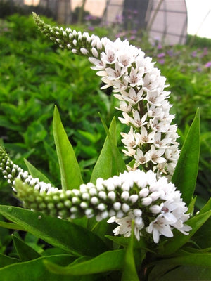 Lysimachia clethroides Loosestrife image credit Millgrove Perennials