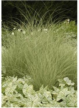 Miscanthus sinensis Morning Light Maiden Grass image credit Walters Gardens Inc
