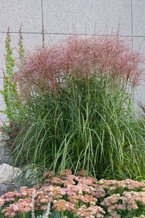 Miscanthus sinensis Rotsilber Daylily image credit Millgrove Perennials