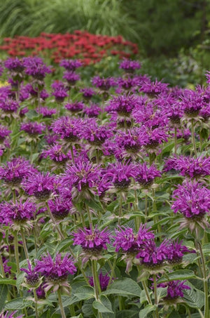 Monarda didyma Purple Rooster Bee Balm image credit Photo credit: Walters Gardens Inc.