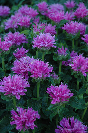 Monarda hybrid Petite Delight Bee Balm image credit GET Group Inc